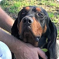 Adopt A Pet :: Zachary - Dallas, TX