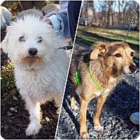 Adopt A Pet :: Blitzen - Whitehall, PA