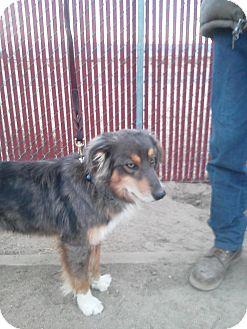 Australian Shepherd Dog for adoption in Simi Valley, California - Red