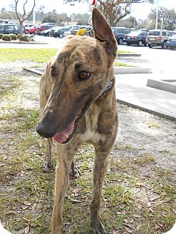 Greyhound Dog for adoption in Gainesville, Florida - Idol