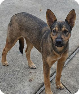 German Shepherd Dog Mix Dog for adoption in Houston, Texas - Austina