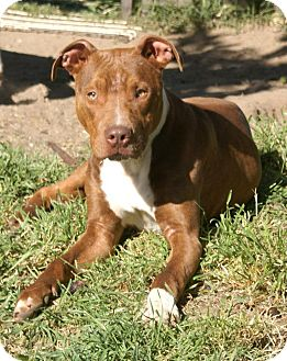 American Pit Bull Terrier Mix Dog for adoption in Yuba City, California - 03/25 Chocolate