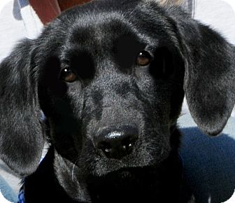 Labrador Retriever Puppy for adoption in Wakefield, Rhode Island - LACEY(ADORABLE LAB PUPPY!!