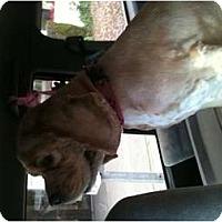 Adopt A Pet :: Gypsy - Tacoma, WA