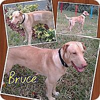 Adopt A Pet :: Bruce - ....., FL