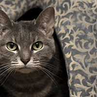 Domestic Shorthair Cat for adoption in Lombard, Illinois - Sacha