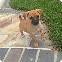 Adopt A Pet :: Bugsy - Brea, CA