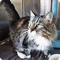 Adopt A Pet :: Mittens - N. Billerica, MA