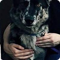 Adopt A Pet :: Koa - Caddo Mills, TX