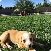 Adopt A Pet :: Betty - Brea, CA