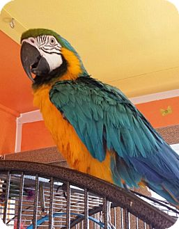 Macaw for adoption in Tampa, Florida - Bogey
