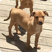 Adopt A Pet :: Rain - Holly Springs, NC