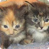 Adopt A Pet :: 3 Sibling Kittens Available Sept 20 - Hudson, NY