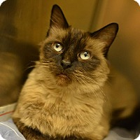 Siamese Cat for adoption in Beacon, New York - Gypsy