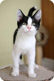 Domestic Shorthair Cat for adoption in Dalton, Georgia - Swayzy