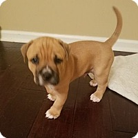 Bluetick Coonhound/Black Mouth Cur Mix Dog for adoption in Jacksonville, Florida - Guinness
