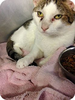 Domestic Shorthair Cat for adoption in Voorhees, New Jersey - Leo