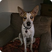 Cattle Dog Mix Dog for adoption in Manhattan, Kansas - Luke