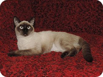 Siamese Cat for adoption in Plano, Texas - FLOWER - FOUND IN A FLOWERBED