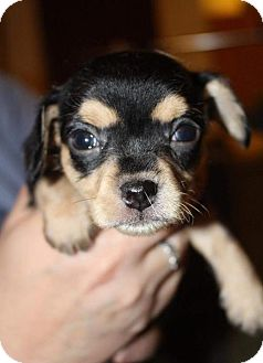 Chihuahua/Yorkie, Yorkshire Terrier Mix Puppy for adoption in Edina, Minnesota - Gable D161633