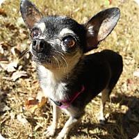 Adopt A Pet :: Piccolo - Brownsboro, AL
