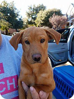 Nova Scotia Duck-Tolling Retriever/Labrador Retriever Mix Dog for adoption in Plano, Texas - Tracey