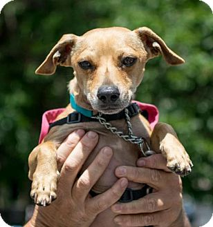 Chihuahua/Dachshund Mix Dog for adoption in Woodland Park, New Jersey - Sky Chiweenie