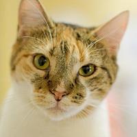 Adopt A Pet :: Venus - Auburn, CA