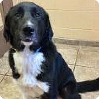 Adopt A Pet :: Ronan - Denver, CO