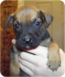 American Pit Bull Terrier/German Shepherd Dog Mix Puppy for adoption in Claypool, Indiana - Deacon