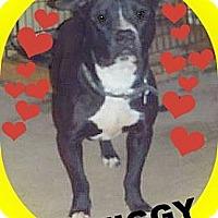 American Pit Bull Terrier Dog for adoption in Elyria, Ohio - Ziggy