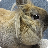 Lionhead Mix for adoption in Newport, Delaware - Gertie