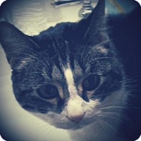 Adopt A Pet :: Lily - Palo Alto, CA