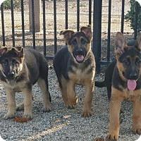 Adopt A Pet :: Shepherd Pups - Yucaipa, CA