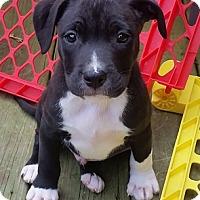 Adopt A Pet :: Lilo - Cincinnati, OH
