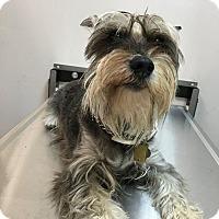 Adopt A Pet :: Scootch - Oak Ridge, NJ