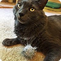 Adopt A Pet :: Royal-Laidback/Loving - Arlington, VA