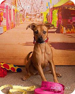Shepherd (Unknown Type) Mix Puppy for adoption in Scottsdale, Arizona - Pumpkin