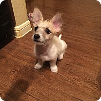 Adopt A Pet :: JOEY - LOVING TERRIER PUPPY - Plano, TX
