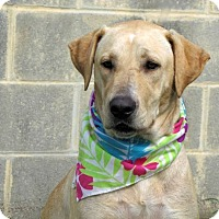 Labrador Retriever Dog for adoption in Lake Jackson, Texas - Claudia