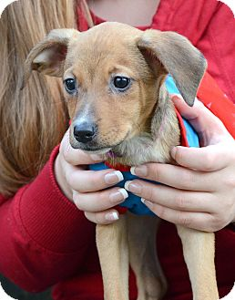 Miniature Pinscher/Collie Mix Puppy for adoption in Baltimore, Maryland - Clove