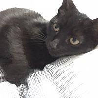 Domestic Shorthair Kitten for adoption in Warren, Michigan - Charlotte