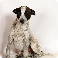 Adopt A Pet :: Helena Heeler - St. Louis, MO