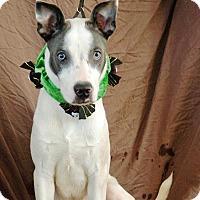 Husky/Labrador Retriever Mix Puppy for adoption in Plainfield, Connecticut - Merlin