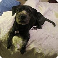 Terrier (Unknown Type, Medium)/Dachshund Mix Dog for adoption in North Bend, Washington - Daisy