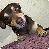 Adopt A Pet :: Cocoa - Waverly, NY