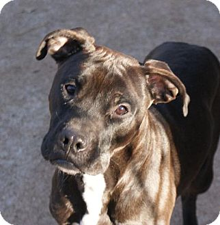 American Pit Bull Terrier Dog for adoption in Dallas, Georgia - Nassor