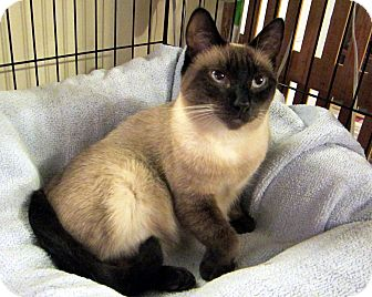 Siamese Cat for adoption in Long Beach, California - Kia