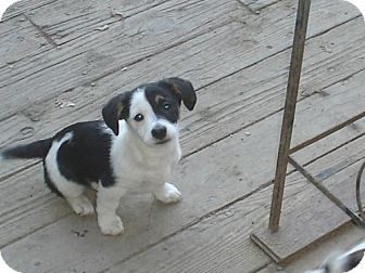 Panda | Adopted Puppy | Atascadero, CA | Jack Russell ...
