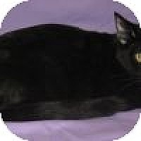 Adopt A Pet :: Bagheera - Powell, OH